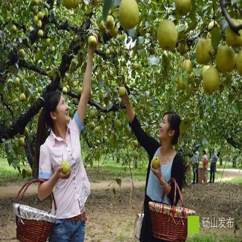 正宗砀山新鲜水果酥梨砀山梨5斤水果甜脆梨子雪花梨江浙沪皖包邮
