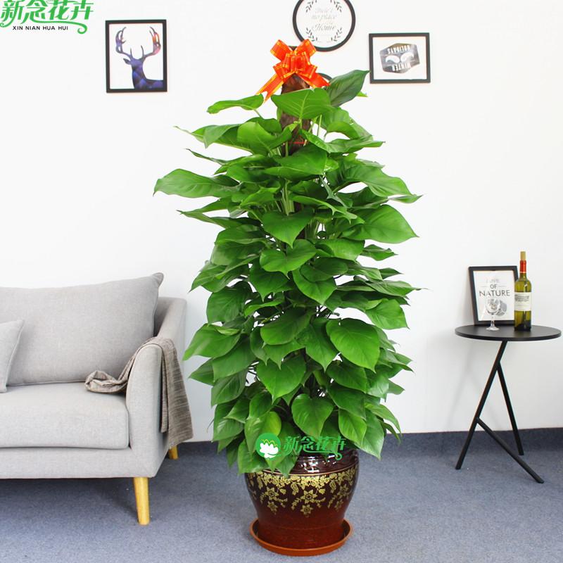 新念 大绿萝盆栽室内办公室绿植吸甲醛净化空气客厅大型绿箩植物