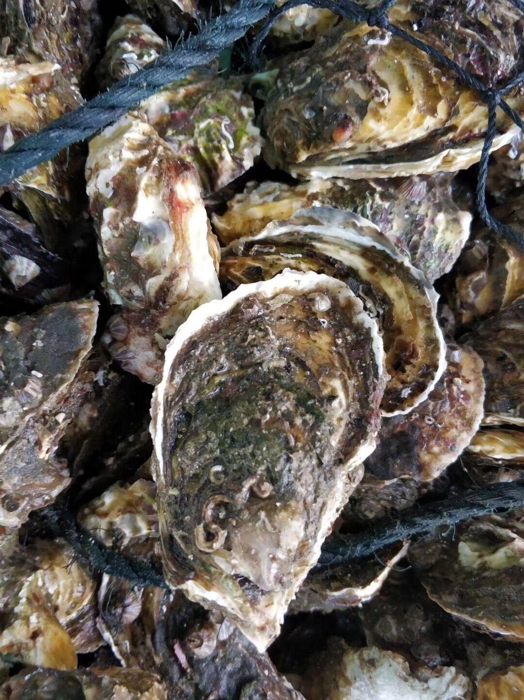 烧烤档生蚝带壳蚝活水产生蚝牡蛎半壳全壳烧烤海蛎子40个包邮广东