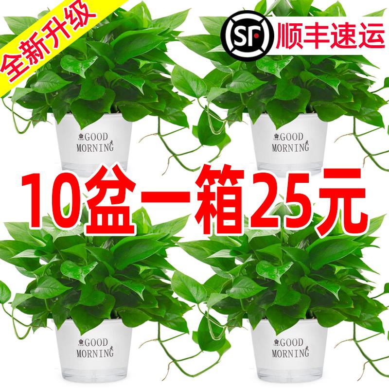 绿萝盆栽花卉植物室内吸除甲醛绿萝长藤垂吊水培好养盆景大叶绿箩