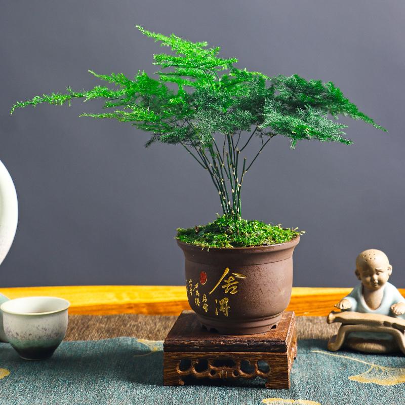 文竹盆栽好养室内绿植客厅办公桌庭院水培花卉吸甲醛苔藓净化空气