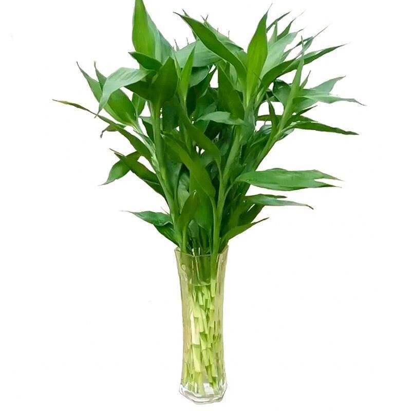 富贵竹水培植物转运竹盆栽植物室内净化空气绿植花卉四季好养水养 - 图2