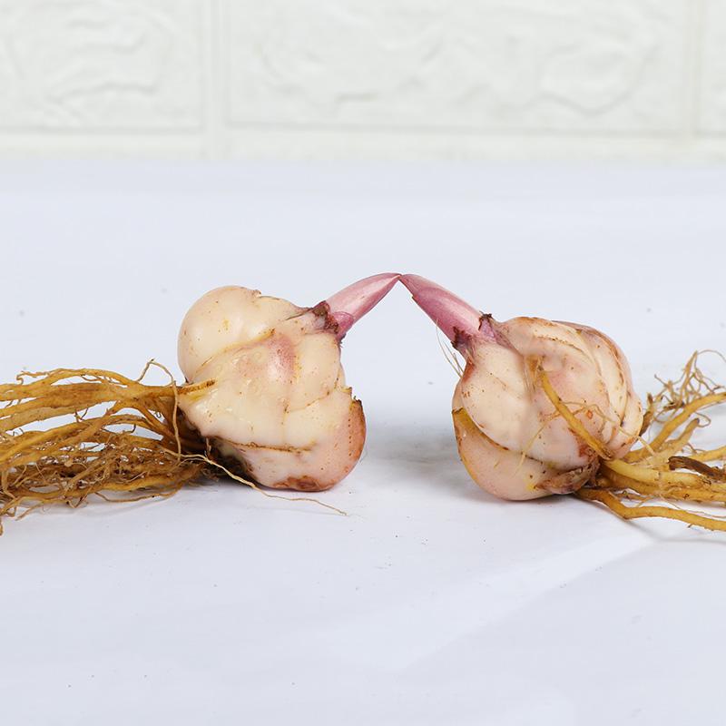 颗香水百合花种球带花芽四季开花易活好养花卉盆栽植物室内 元  9.9 7