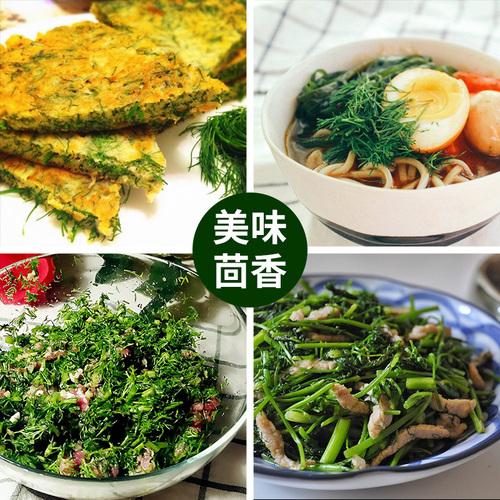 小茴香种子 茴香菜  香菜四季播种套装 家庭阳台盆栽蔬菜菜种籽孑