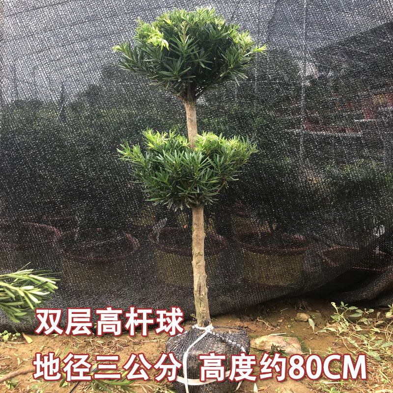雀舌罗汉松球型 米叶罗汉松树苗盆景 珍珠罗汉松老桩庭院