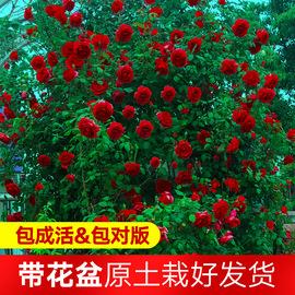 藤本月季花苗特大花卉爬藤植物庭院浓香玫瑰盆栽蔷薇爬墙四季开花