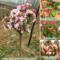 西府海棠花苗室外庭院绿化阳台盆栽木本北方耐寒花卉植物开花树苗