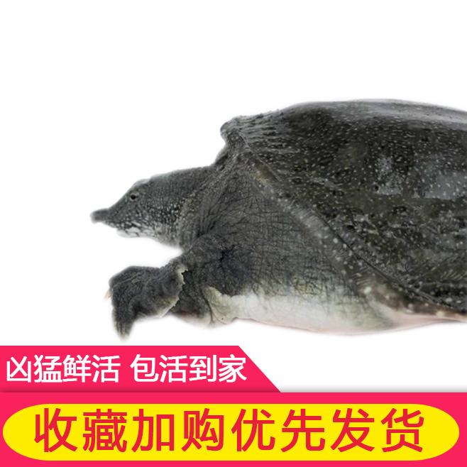 农家大甲鱼活体包邮中华海鲜活团脚鱼老鳖甲鱼苗王八特产