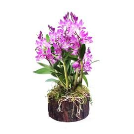 紫罗兰石斛树桩铁皮石斛苗花卉绿植盆栽办公室吊兰花绿萝水培植物