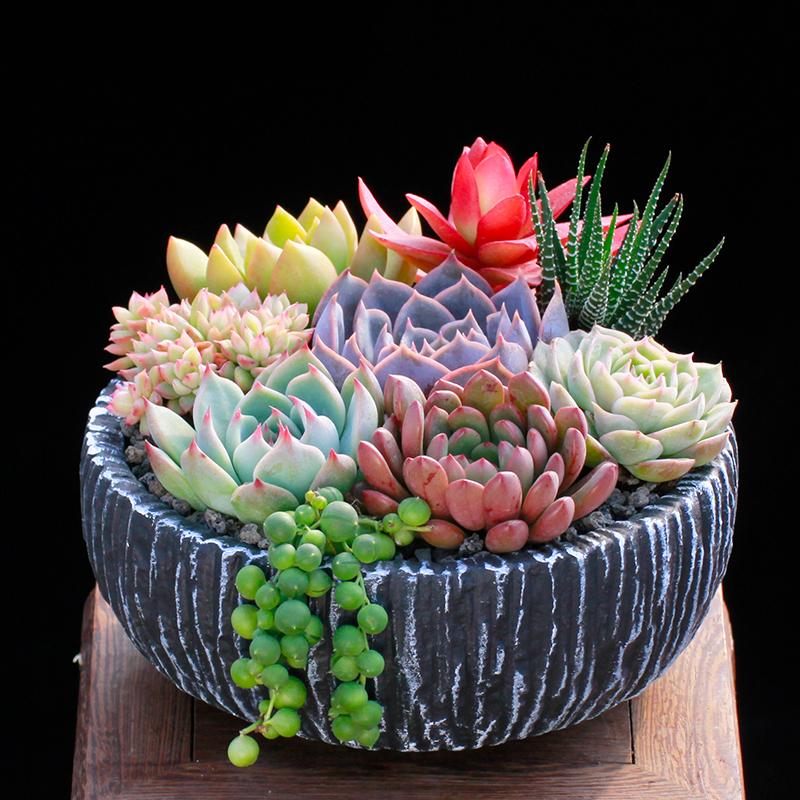 多肉植物组合套餐含盆带土栽种好成品发货办公桌阳台盆栽花卉