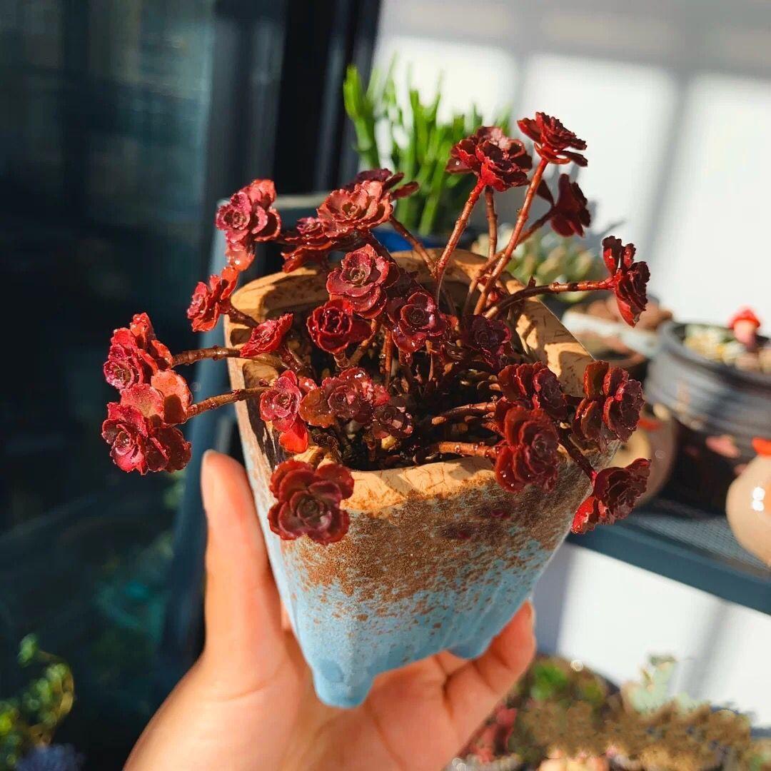 小球玫瑰多肉植物散群老桩盆栽多肉花卉迷你绿植创意盆景