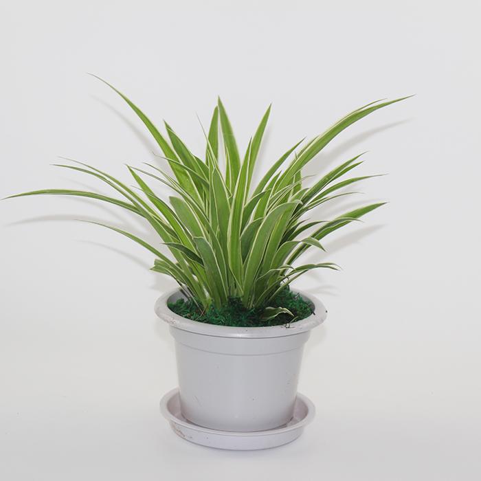 大金边金心吊兰盆栽植物垂吊室内吸甲醛净化空气虎皮兰常春藤绿萝