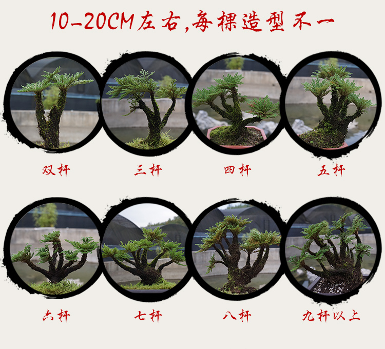 野生卷柏小盆栽盆景菖蒲懒人植物防辐射见水还阳草还魂草绿色植物