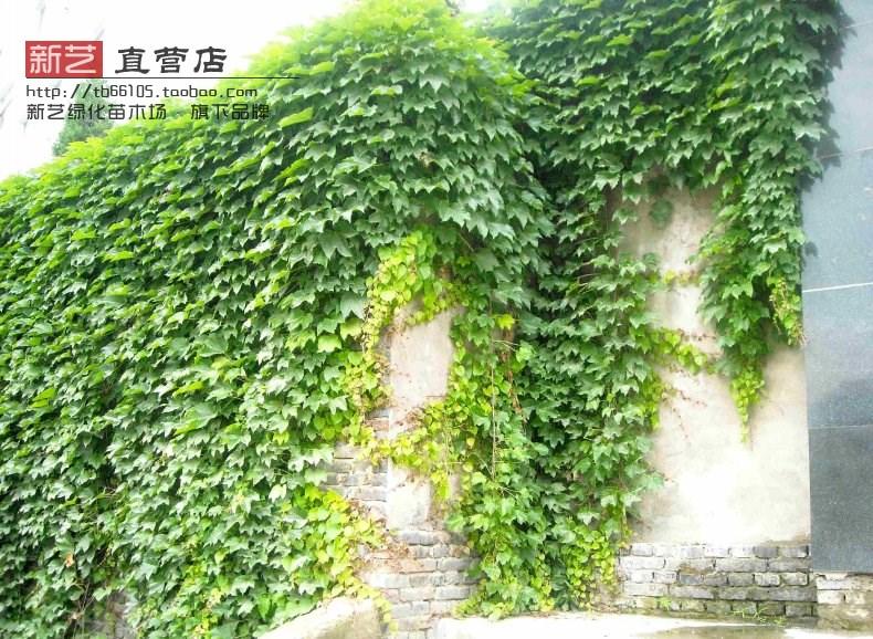 爬山虎爬墙虎攀援墙面遮阳爬山虎大苗爬墙虎趴山虎爬藤爬墙植物