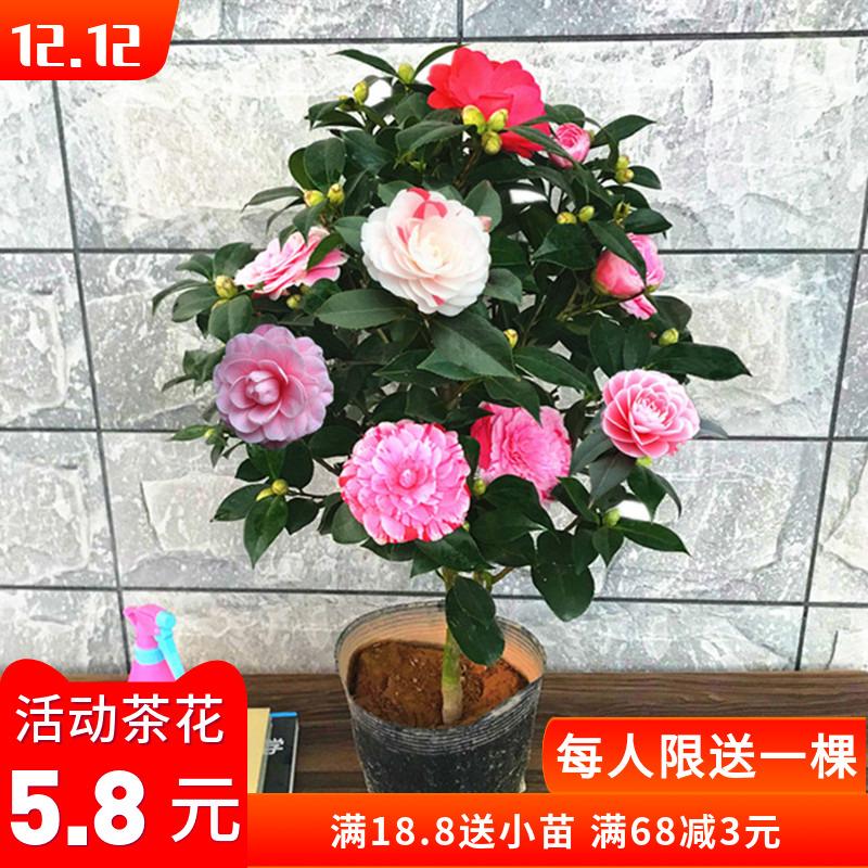 山茶花苗盆栽带花苞五色赤丹树苗浓香型花卉植物室内好养四季开花