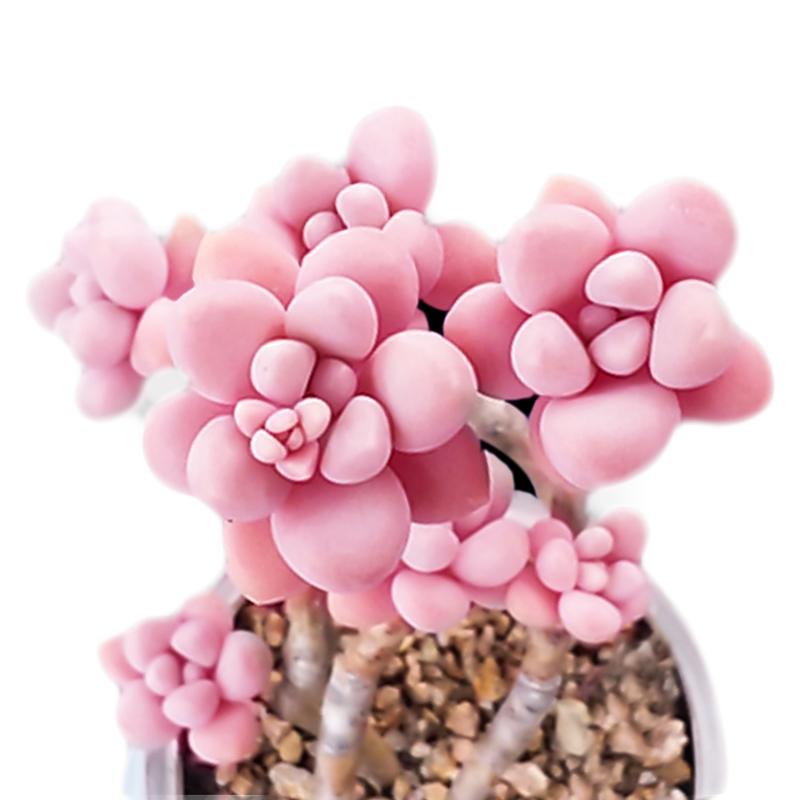 进口多肉植物艾伦组合盆栽办公室内防辐射小盆景绿植花卉超萌多肉