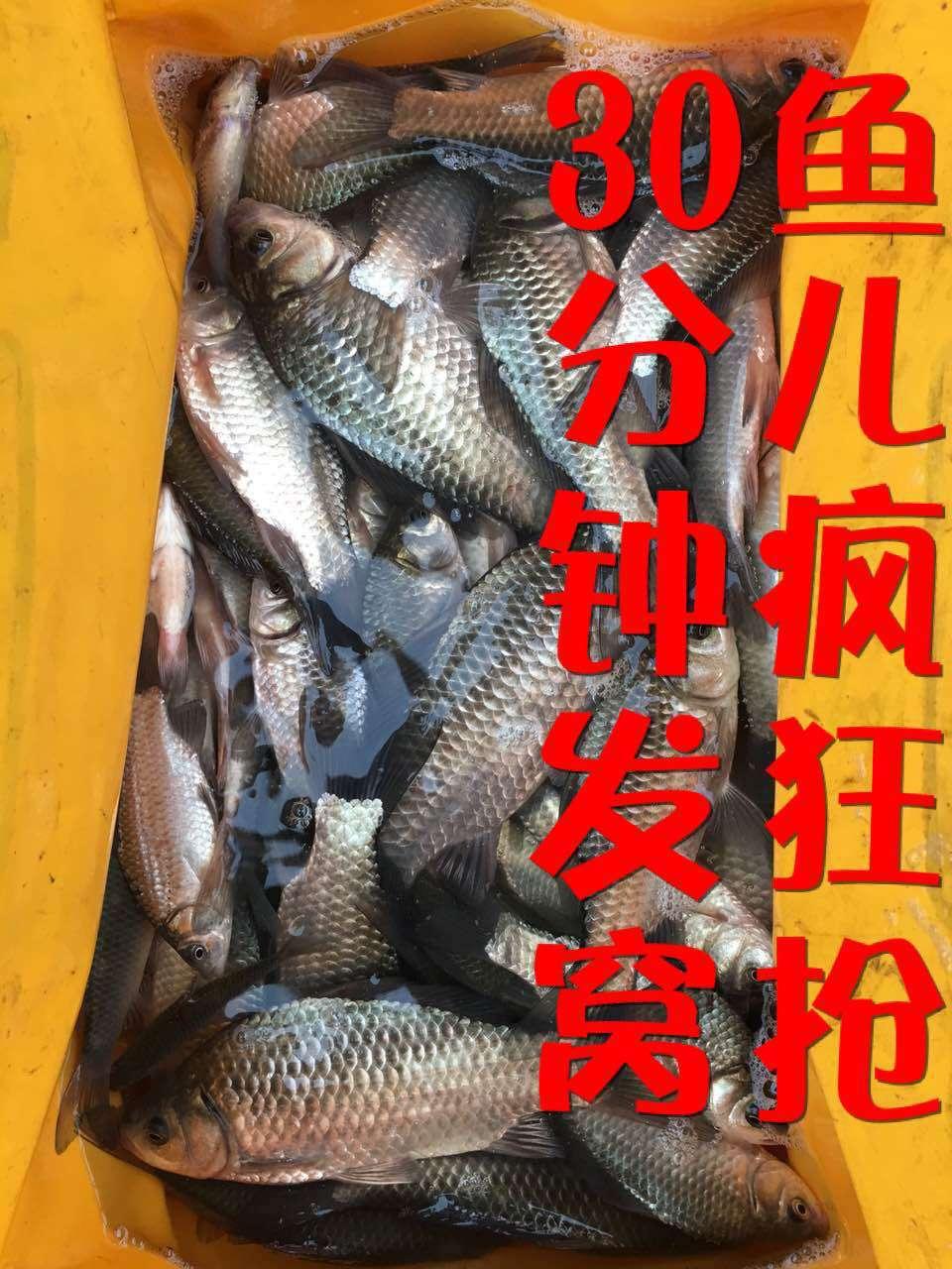 十三底窩料鯽魚誘餌窩料 野釣黑坑鯽魚餌 鯽鯉草鯿窩料全能聚魚餌