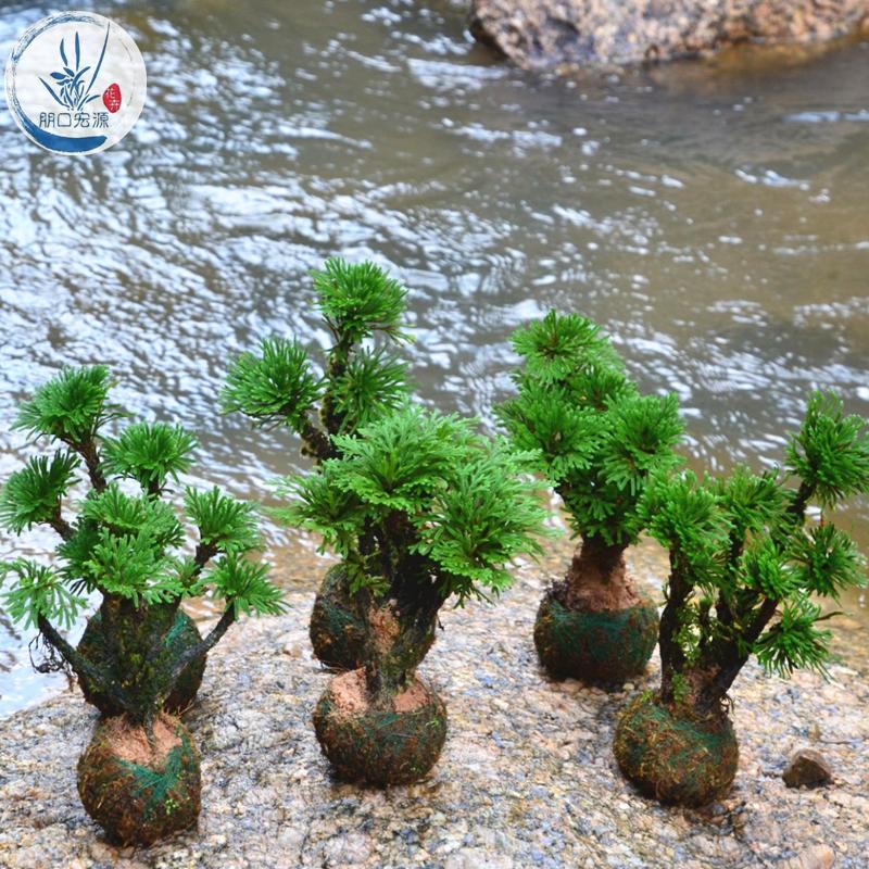 卷柏九死还魂草假山组合吸水石菖蒲桌面花卉植物微型盆景盆栽兰花