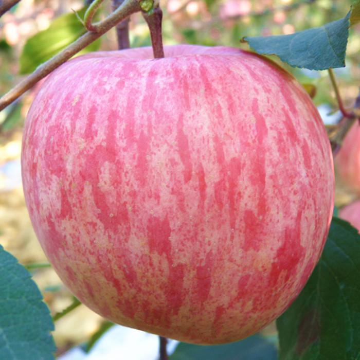 苹果水果新鲜山东烟台苹果栖霞红富士脆甜孕妇吃的不打蜡5斤