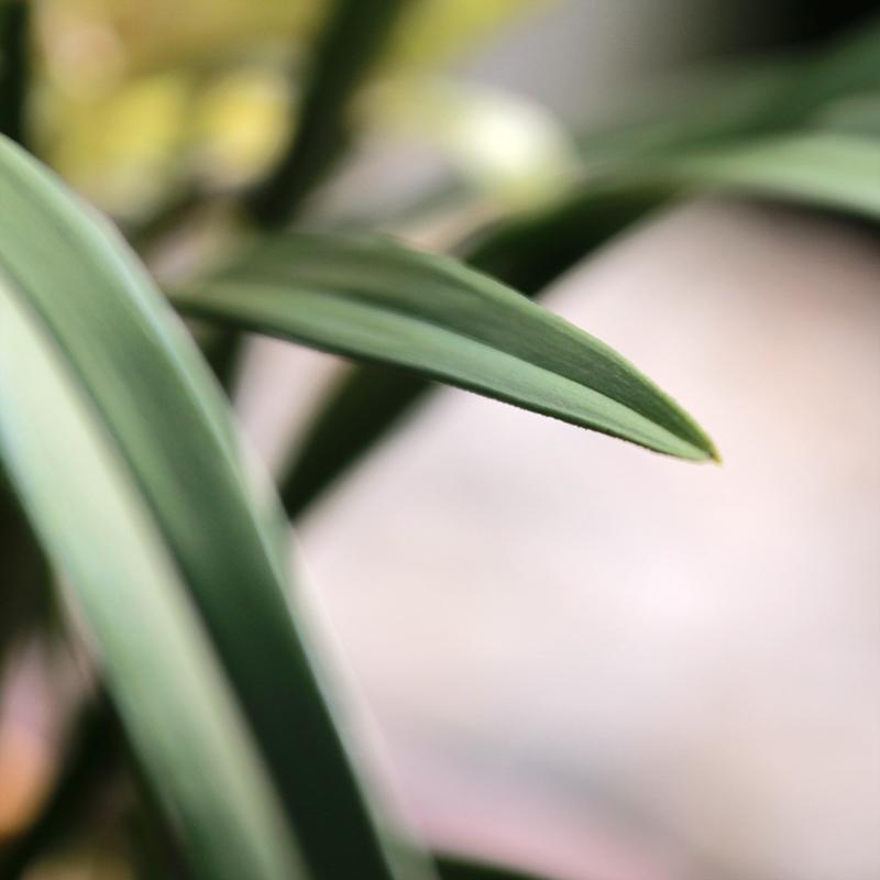 富山奇蝶兰花苗未带花苞奇花异草建兰四季兰浓香好养花卉绿植盆栽