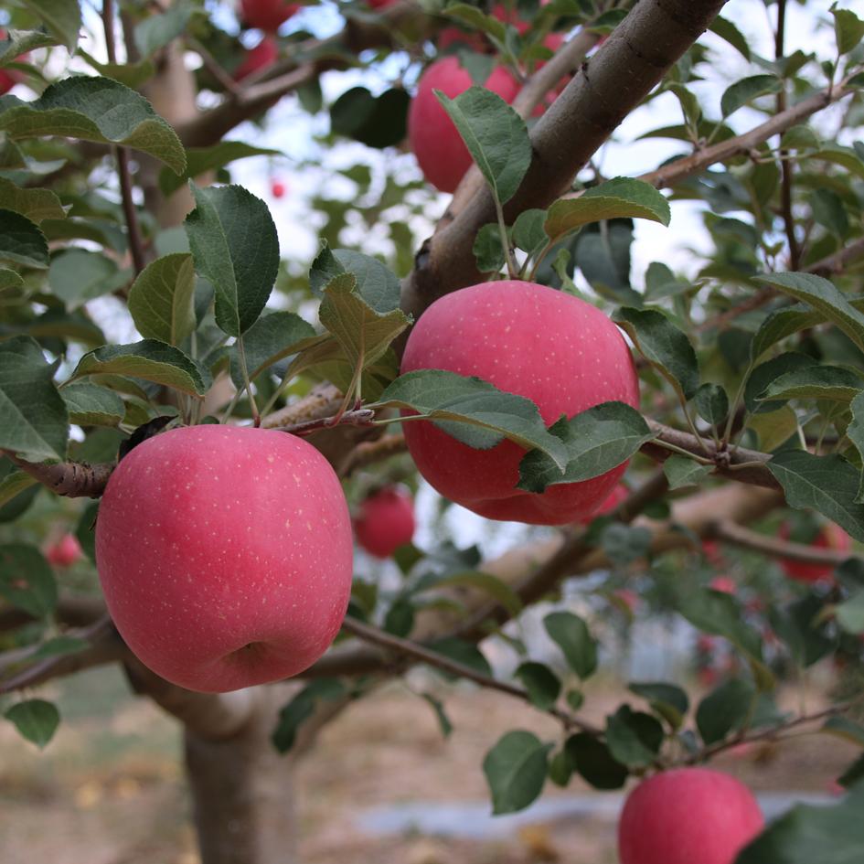 甘肃特产苹果水果农家新鲜脆甜多汁糖心15斤静宁红富士苹果包邮