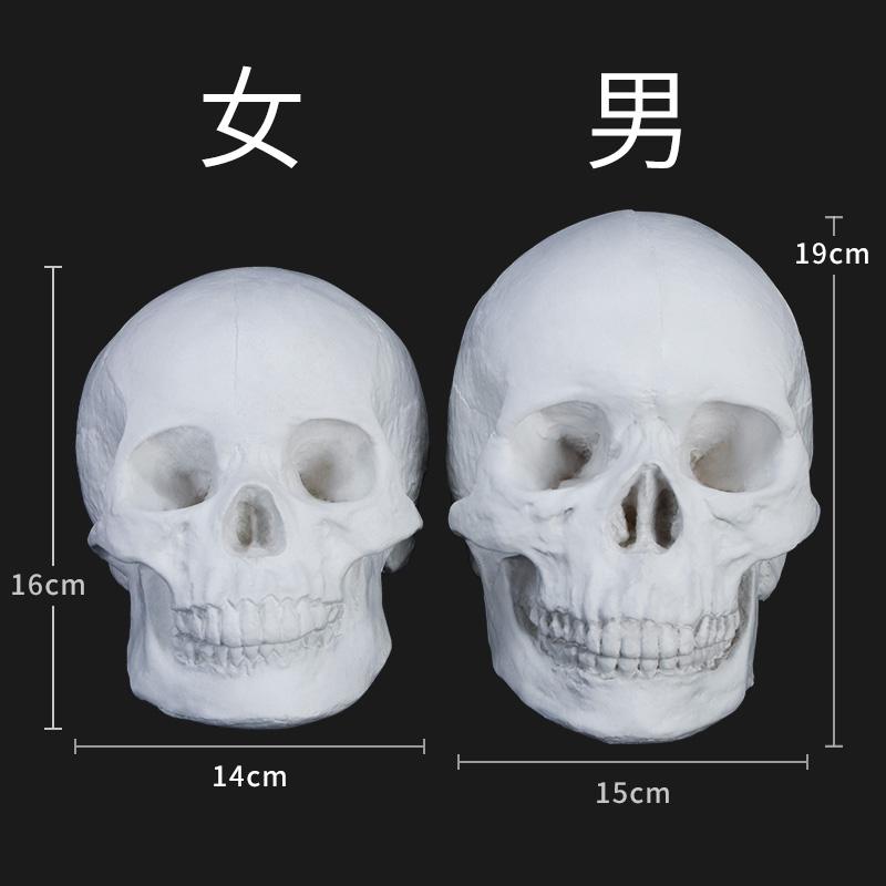 保质量人物石膏头骨骷髅头模型石膏教具几何体石膏像人像石膏静物