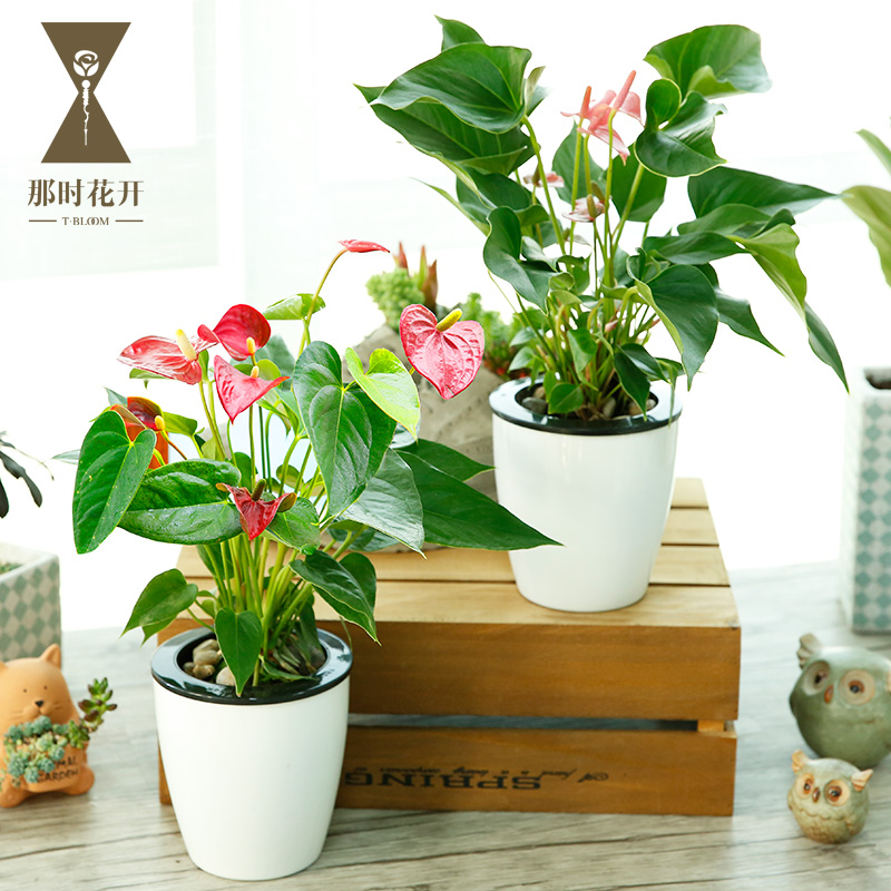 Buy Anthurium Pink Palm Hydroponic Plants Potted Flowers Blooming