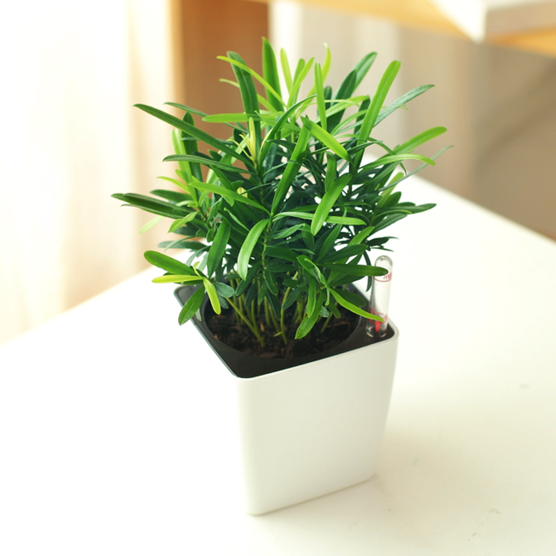225 & Buy Podocarpus bonsai seasons indoor potted flower plants with good ...