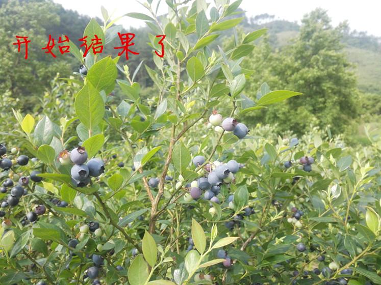 蓝莓南北方种植果树苗室内阳台室外盆栽水果苗高矮丛当年结果包邮