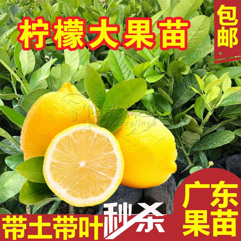 柠檬树苗水果树苗香水柠檬盆栽尢力克柠檬盆栽地栽嫁接果树带土球