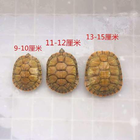 A Pair Of Small Small Pet Turtles Live Freshwater Turtles Living Creatures Longevity Turtle Pet Turtle