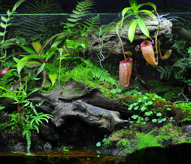 蕨类植物盆景盆栽装饰水陆造景耐阴室内客厅净化空气微景观吸甲醛