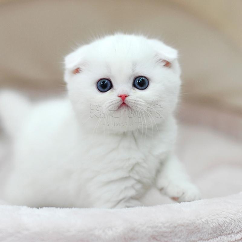Pet Cat Live Scottish Fold Kitten Kitten Pure White British Shorthair Fold Ear Kitten Cub W