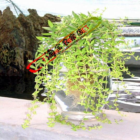 懒人多肉植物垂盆草黄金叶佛甲草姬吹雪肉肉可组合盆栽含盆土包活