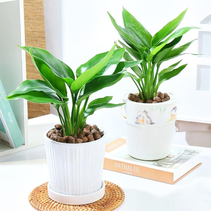 天堂鸟盆栽花卉鹤望兰室内绿植物净化空气
