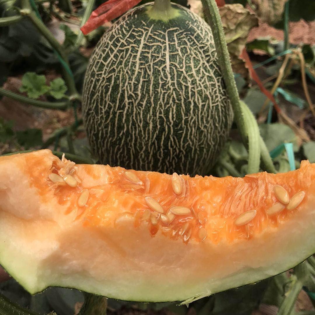 云南新鲜现摘现发哈密瓜西州蜜25号2个装5-6斤甜香瓜新鲜水果