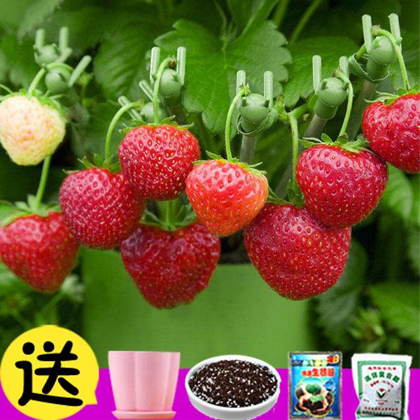 草莓种子盆栽苗室内四季开花植物花卉水果孑室外花籽易种