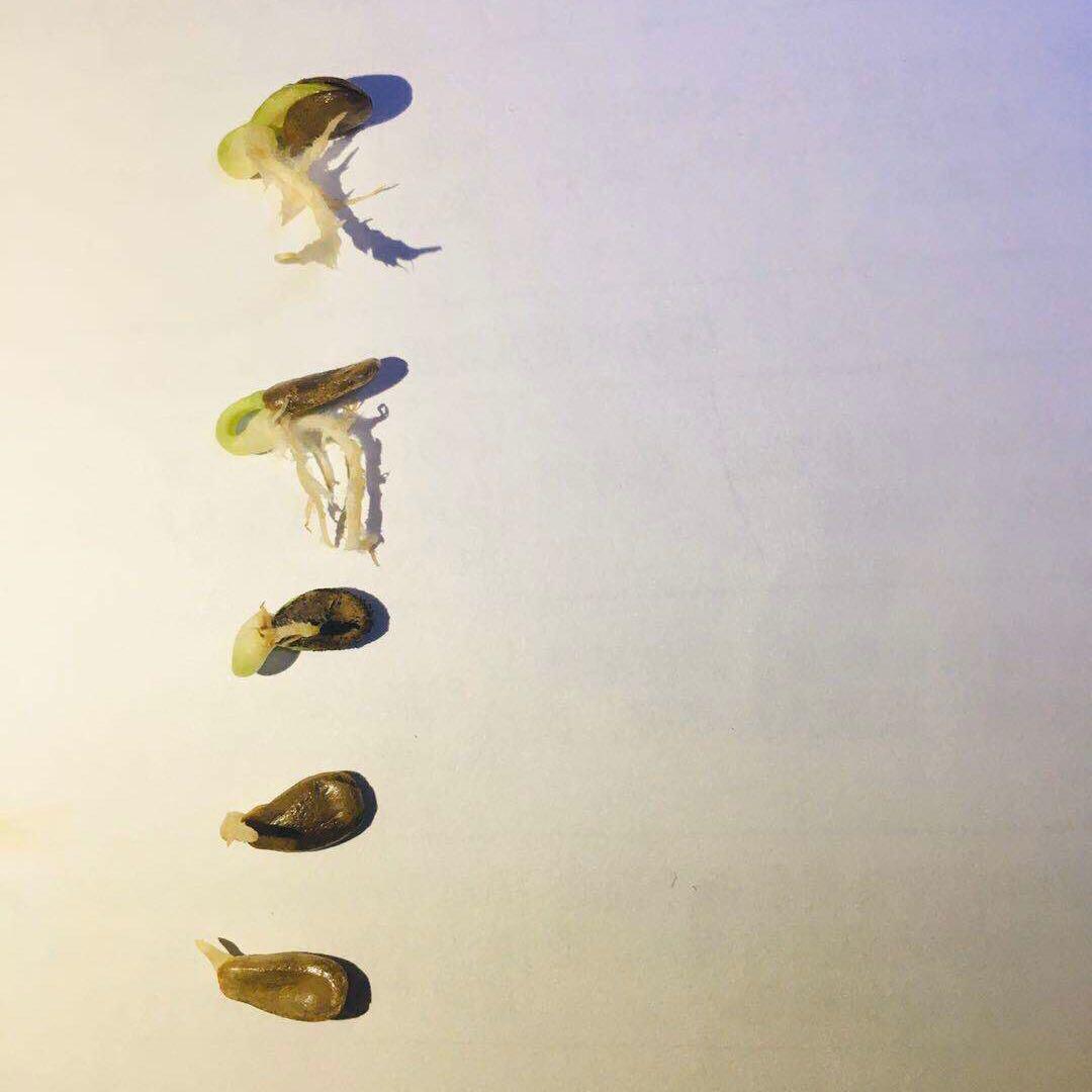 葫芦苗盆栽三挺天津嘴 2 送 5 买 1 送 3 买 种子籽 超长嘴小八宝发了芽
