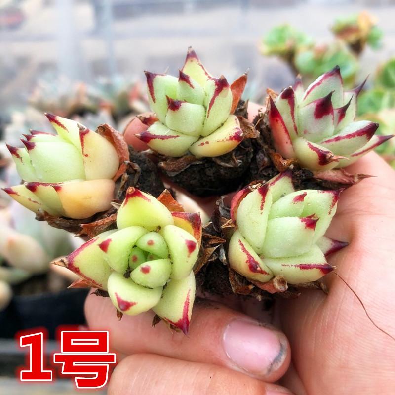 【1号链接】  满28元包邮 多肉植物阳台办公乌木花卉盆栽