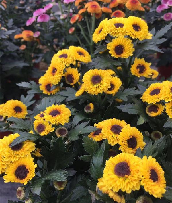 欧洲小米菊 耐寒冬季菊花花苗庭院植物盆栽花卉女菊千头菊 小苗