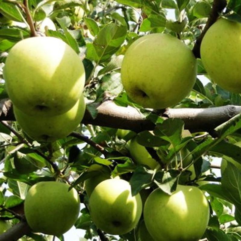 2020青苹果王林绿皮丑萍水果孕妇现货新鲜应当季5斤整箱10斤脆甜