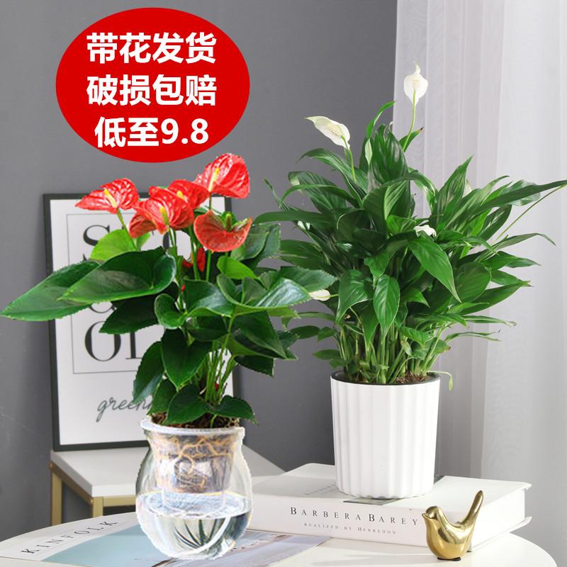 白掌盆栽一帆风顺水培植物办公室内花卉好水养的绿植红掌四季开花【图4】