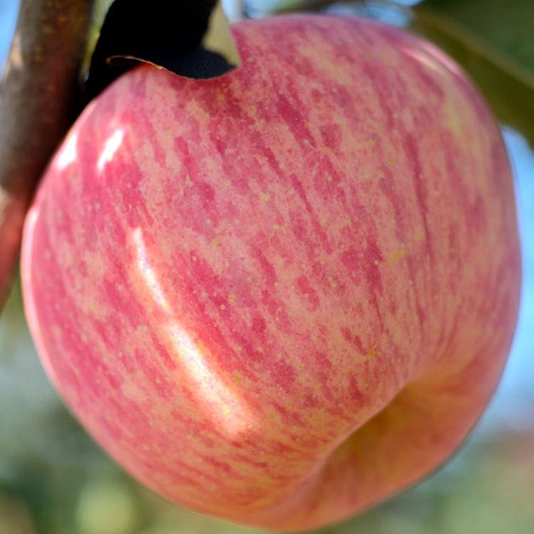 陕西红富士苹果水果现摘新鲜洛川苹果当季丑苹果批发整箱9斤包邮
