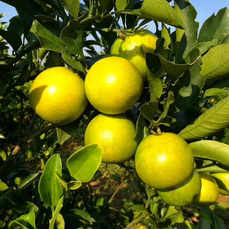 海南澄迈福橙绿橙新鲜橙子冰糖橙脐橙果冻甜橙水果大青橙当季 5斤