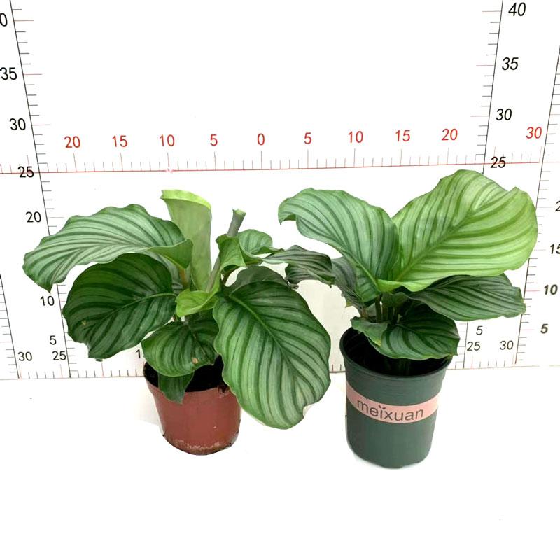 苹果竹芋盆栽圆叶花卉室内办公桌面书房四季常青净化空气