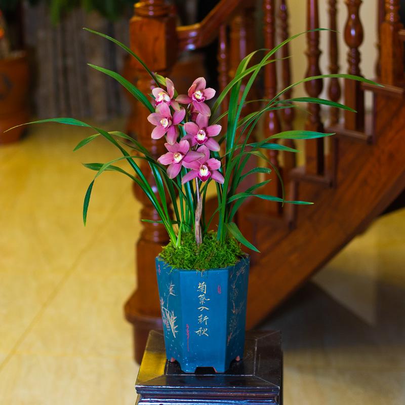 大众国兰花苗四季兰花美娇娘浓香不带花苞花卉室内盆栽名贵绿植物