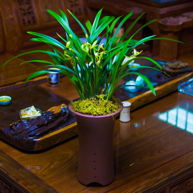 兰花苗建兰四季兰草大凤素浓香素花不带花苞绿植物花卉盆栽极有家