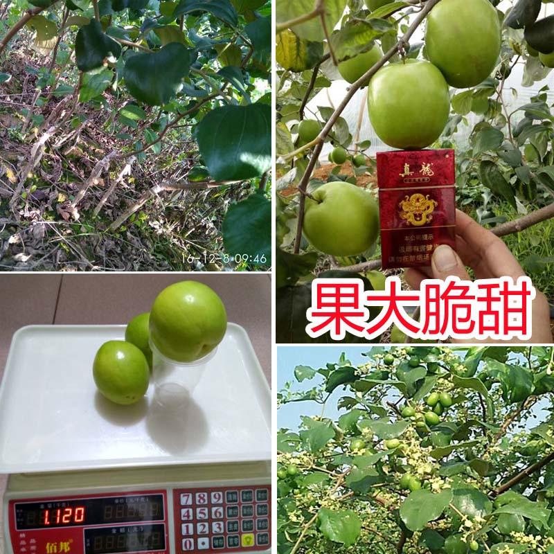 台湾大青枣果树苗南方种植嫁接苗庭院四季盆栽地栽水果苗当年结果