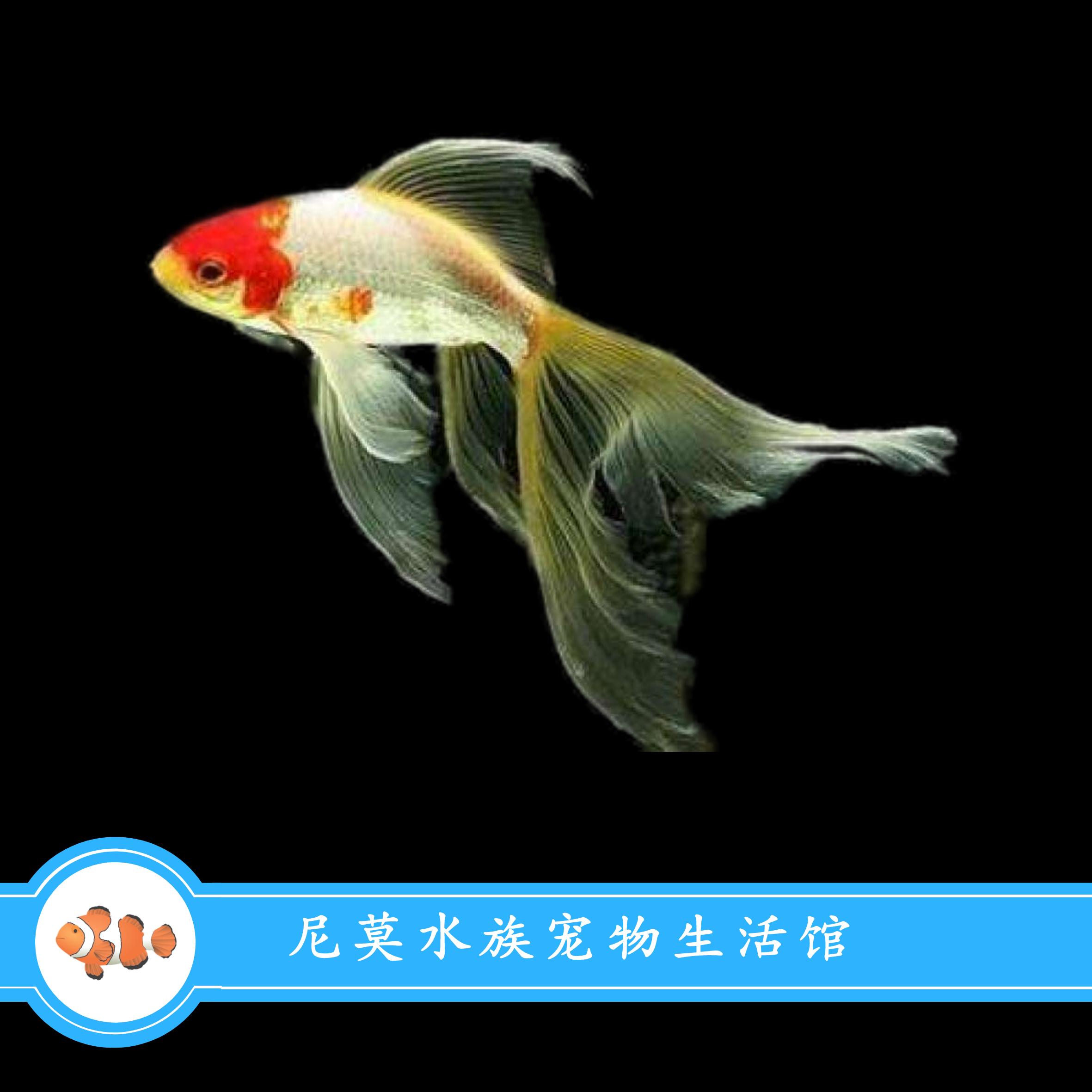 金鱼活体观赏鱼小金鱼草金鱼冷水鱼好养易活懒人鱼淡水鱼