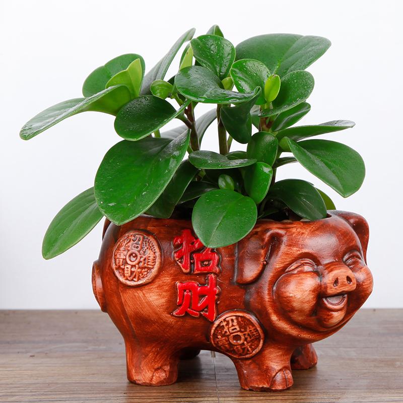 发财树盆栽花卉植物绿萝富贵竹文竹客厅办公室内绿植小盆景